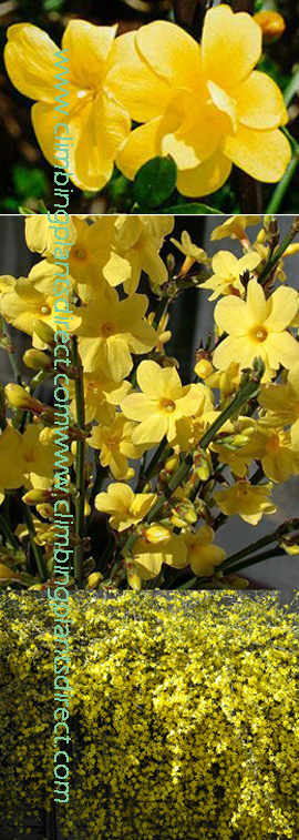 Jasminum+%27nudiflorum%27+%2D+Winter+Jasmine+%2D+Easy+to+Grow+%2D+A+burst+of+sunshine+when+you+need+it+most+%2D++mid%2Dwinter%2E
