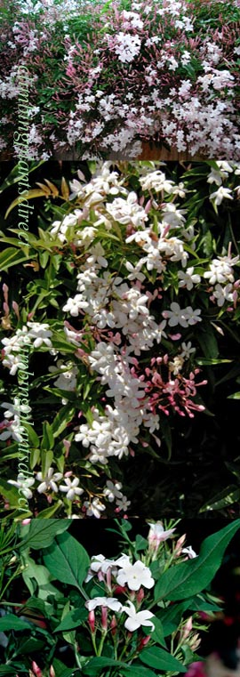2+x++Jasmine+%27Officinale%27+%2D+HARDY+PERENNIAL+CLIMBER%2D+HEAVENLY+SCENTED+WHITE+FLOWERS%2E+This+Hardy+Perennial+Climber+has+been+container+grown+so+can+be+planted+at+any+time+of+year%2E