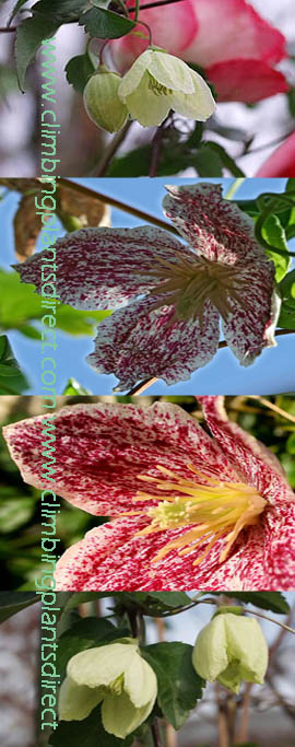 Climbing+Plants+x2+Offer%2D+Clematis+cirrhosa+%27Jinlge+Bells%27+and+Clematis+cirrhosa+%27Freckles%27%27+%2D+SIMPLY+TWO+OF+THE+BEST+EVERGREEN+%26+SCENTED+CLEMATIS%21