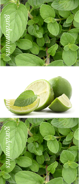 Lime+Mint%3A+Mentha+x+piperata+f%2E+citrata%2E+Hardy+Perennial%2E+%283xGarden+Ready+Plants+Supplied%29