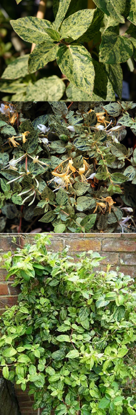MINT+AND+CREAM+EVERGREEN+COLLECTION+%2D+2+Plant+Collection+Mint+Crisp+%26+Solanum+Alba+%2D+These+Hardy+Perennial+Climbers+have+been+container+grown+so+can+be+planted+at+any+time+of+the+year%2E+We+despatch+WITH+container+so+the+roots+are+safe%2E