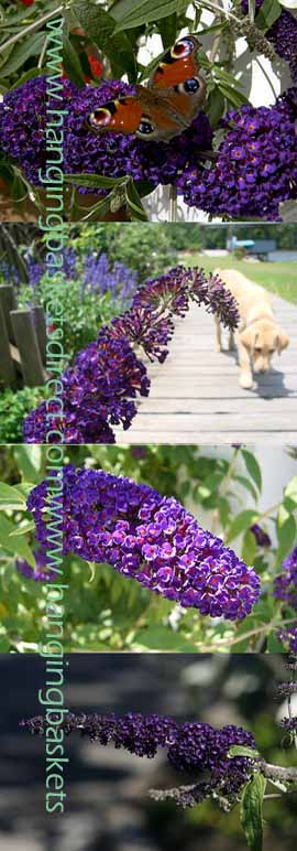 2+x+Buddleja+%27Black+Knight%27+%2D+Butterfly+shrub+with+scented+flowers%2E+These+hardy+Perennial+shrubs+have+been+container+grown+so+can+be+planted+at+any+time+of+the+year%2E++We+despatch+WITH+container+so+the+roots+are+protected%2E