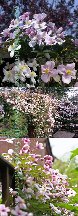 2+x+Clematis+Mile%2DA%2DMinute+%27Eliizabeth%27+%2D+HEAVENLY+VANILLA+SCENT+%2D+This+Hardy+Perennial+Climber+has+been+container+grown+so+can+be+planted+at+any+time+of+the+year%2E++We+despatch+WITH+container+so+the+roots+are+safe%2E