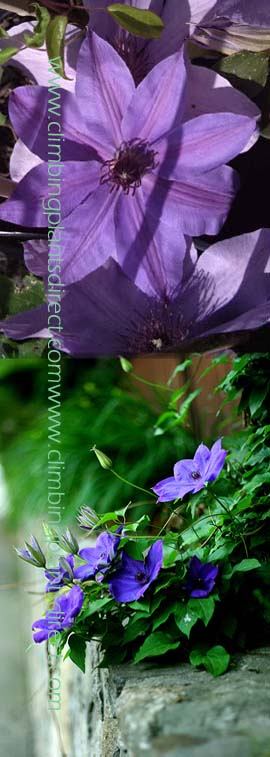Clematis+%27+Blue+eyes%27+%2D+%2A+RESTFUL+COLOUR+IN+SKY+BLUE%2A+%2D+This+Hardy+Perennial+Climber+has+been+container+grown+so+can+be+planted+at+any+time+of+the+year%2E++We+despatch+WITH+container+so+the+roots+are+safe%2E