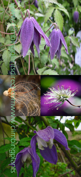 Clematis+Macropetala+%27Blue+Lagoon%27+%2D+BRILLIANT+DISPLAYS+OF+DEEP+BLUE+LANTERNS%21+This+Hardy+Perennial+Climber+has+been+container+grown+so+can+be+planted+at+any+time+of+the+year%2E+We+despatch+WITH+container+so+the+roots+are+safe%2E++