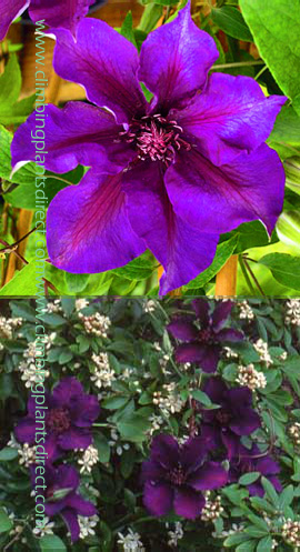 Clematis+%27Burma+Star%27+STRIKING+COLOUR+COMBINATION+for+Patio+Containers%2E+Thrives+in+every+aspect%2EThis+Hardy+Perennial+Climber+has+been+container+grown+so+can+be+planted+at+any+time+of+the+year%2E+We+despatch+WITH+container+so+the+roots+are+safe%2E