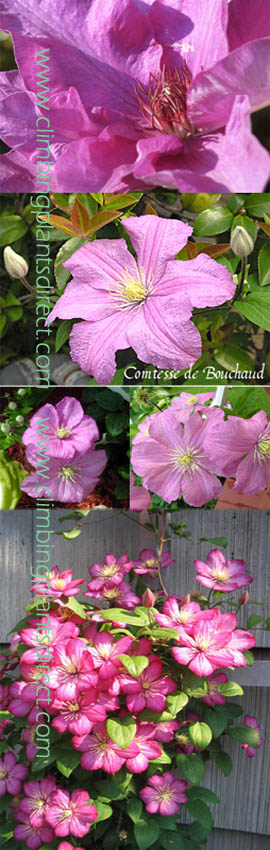 2+x+Clematis+%27Comtesse+de+Bouchaud%27+%2D+%2A+MASSES+OF+SHELL%2DPINK+FLOWERS+AND+RHS+AWARD+OF+GARDEN+MERIT%21%2A+%2D+This+Hardy+Perennial+Climber+has+been+container+grown+so+can+be+planted+at+any+time+of+the+year%2E++We+despatch+WITH+container+so+the+roots+are+safe%2E