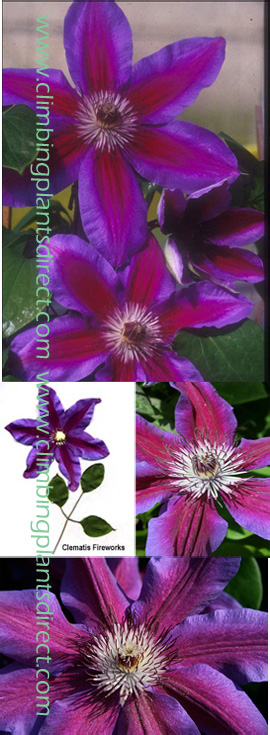 Clematis+%27Fireworks%27+%2D+WOW+LOOK+AT+ME%2C+I%27M+NOT+SHY%21+This+Hardy+Perennial+Climber+has+been+container+grown+so+can+be+planted+at+any+time+of+the+year%2E++We+despatch+WITH+container+so+the+roots+are+safe%2E
