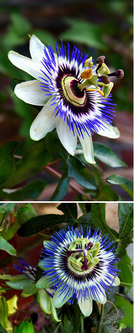 Passiflora+caerulea+%2D+HARDY+Blue+passion+flower%2D+EXOTIC+FLOWERS+%26+ORANGE+FRUITS%2E+This+Hardy+Perennial+Climber+has+been+container+grown+so+can+be+planted+at+any+time+of+the+year%2E