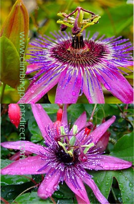 2XPassion+flower+%2D+Passiflora+%27Purple+Rain%27++EVERGREEN+with+glossy+dark+green+leaves%2E+This+Hardy+Perennial+Climber+has+been+container+grown+so+can+be+planted+at+any+time+of+the+year%2E+