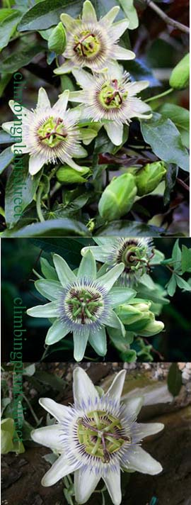 +Passiflora+%27White+Lightning%27+%2D+HARDY+White+passion+flower%2D+EXOTIC+FLOWERS+%26+ORANGE+FRUITS%2E+This+Hardy+Perennial+Climber+has+been+container+grown+so+can+be+planted+at+any+time+of+the+year%2E+We+despatch+WITH+container%2E
