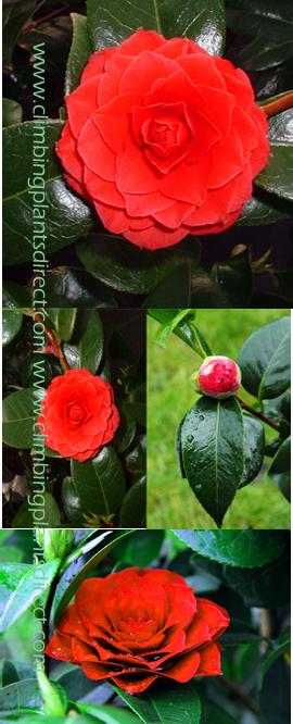 Camellia+%27Black+Lace%27+RHS+AGM+%28Award+of+Garden+Merit%29+%2D++A+Patio+Show%2DStopper%21