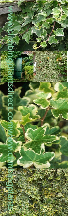 2+x+Ivy+%2D+%27Hedera+helix+Kolibri%27+%2D+HARDY+EVERGREEN+CLIMBER%2E+This+Hardy+EVERGREEN+Climber+has+been+container+grown+so+can+be+planted+at+any+time+of+the+year%2E+We+despatch+WITH+container+so+the+roots+are+safe%2E+