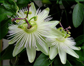 Climbing+Plant+%2D+Passion+flower+%2D+Passiflora+caerulea+%27Constance+Elliott%27+%2D+EVERGREEN+CLIMBER%2E+This+Hardy+Perennial+Climber+has+been+container+grown+so+can+be+planted+at+any+time+of+the+year%2E+We+despatch+WITH+container+so+root+system+is+protected%2E