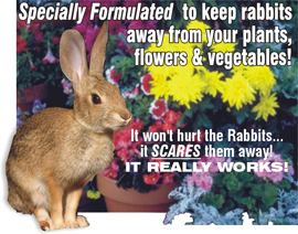 RABBITS+OFF+PLANTS+%2D+SCAREDY+BUNNIES+PLANTS+%2D++Coleus+canina+hybrid+X+3+Starter+Plants%2E+Plants+despatched+from+MAY+onwards+as+they+need+frost+protection+and+prefer+good+light+levels+to+grow+quick%2E