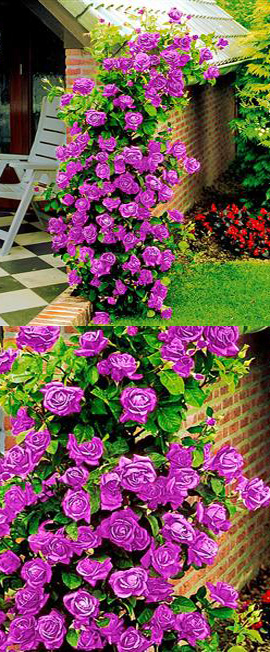 AVAILABLE+NOW+%2D+Climbing+Rose+Purple+Climber+%2D+A+beautiful+fragrant+rose