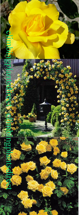 AVAILABLE+NOW+%2D+Climbing+Rose+%27Golden+Showers%27%2D+A+beautiful+fragrant+rose