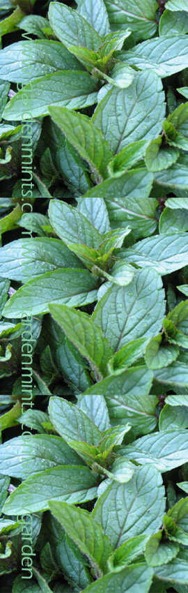 Chocolate+Mint%3A+Mentha+x+piperita+Hardy+Perennial%2E+%281xGarden+Ready+Plant+Supplied%29