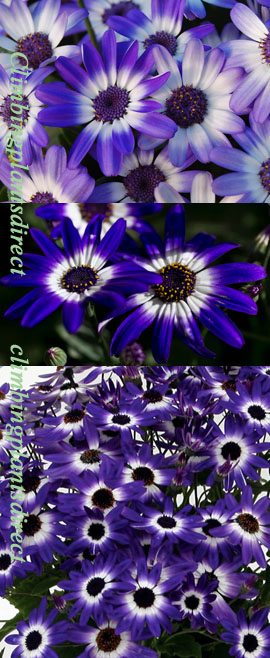 Senetti+Magenta+Bi%2Dcolour+GARDEN+READY+Plants+%2D+DELIVERY+%2D++MAY+ONWARDS