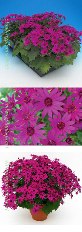 Senetti+Magenta+GARDEN+READY+Plants+%2D+DELIVERY+%2D+APRIL+ONWARDS