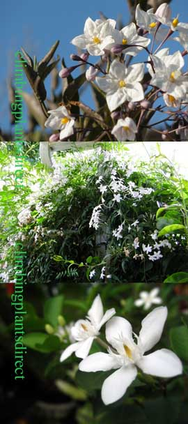 Solanum+jasminoides+var%2E+%27alba%27%2D+The+HARDY+Chilean+Potato+Vine%2E+The+one+to+choose+to+clothe+old+walls%2C+trellis+or+large+pergolas%21