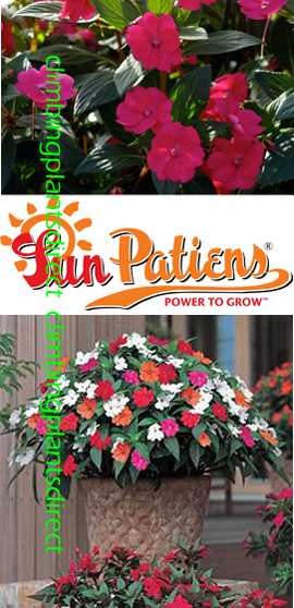 SunPatiens%AE+Vigorous+Magenta+X+5+Jumbo+Plug+Plants%2E+DELIVERY+%2D+MAY+ONWARDS