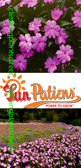 SunPatiens%AE+Vigorous+Lavender+X+5+Jumbo+Plug+Plants%2E+DELIVERY+%2D+MAY+ONWARDS