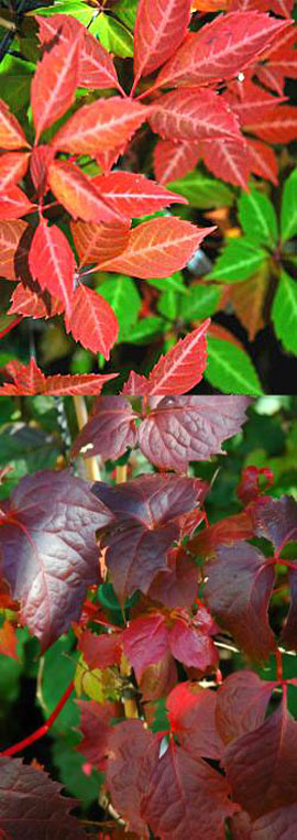3+xParthenocissus+quinquefolia+%2D+%27Virginia+Creeper%27+%2D+EASY+TO+GROW+SHOWSTOPPER%21++Masses+of+lush+foliage+from+early+spring+right+through+to+early+winter+%26+an+AWARD+WINNER+too%21+%2D+RHS+AGM+%2E+This+Hardy+Perennial+Climber+can+be+planted+at+any+time+of+the+year%2E
