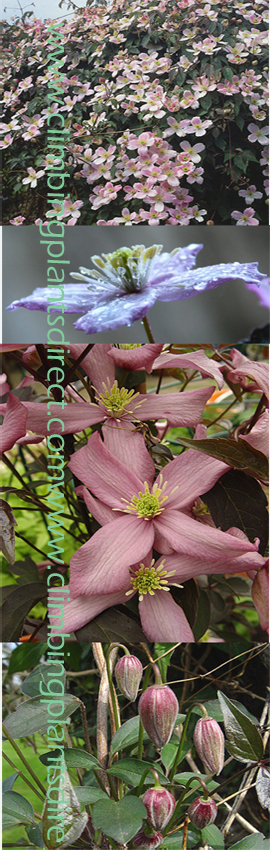 Clematis+montana+%27Warwickshire+Rose%27+%2D+an+ELEGANT+MILE%2DA%2DMINUTE+CLIMBER%21++This+Hardy+Perennial+Climber+has+been+container+grown+so+can+be+planted+at+any+time+of+the+year%2E+AVAILABLE+FROM+APRIL+2012+ONWARDS