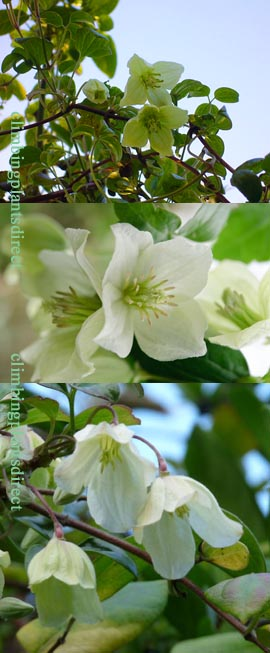 Clematis+%27Wisley+Cream%27%2E+RHS+AGM+%2A+EVERGREEN+WINTER+FLOWERING%2A%2E++This+Hardy+Evergreen+Perennial+Climber+has+been+container+grown+so+can+be+planted+at+any+time+of+the+year%2E++We+despatch+WITH+container+so+the+roots+are+safe%2E