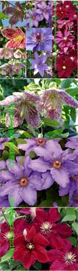 3 Plant Collection -  Beautiful Long Flowering Season Climbing Plants. These Hardy Perennial Climbers have been container grown so can be planted at any time of the year.  We despatch WITH container so the roots are safe