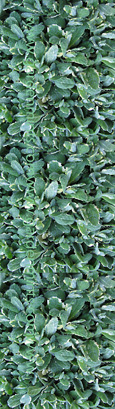 Apple Variegated:  Mentha Suaveolens Variegata. Hardy Perennial. (10x Plug Plant Supplied)