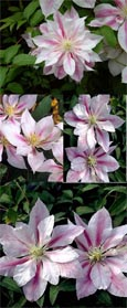 Clematis 'Andromeda' - New Introduction. Compact habit so great for Patio Containers. FLOWERS TWICE! This Hardy Perennial Climber has been container grown so can be planted at any time of the year. We despatch WITH container so the roots are safe.
