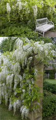 LARGE 90cm +  Wisteria floribunda 'Alba' Japanese Wisteria - THIS HARDY CLIMBING PLANT TAKES YOUR BREATH AWAY WITH STUNNING  LONG SCENTED CHAINS OF WHITE FLOWERS.