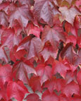 2X Parthenocissus tricuspidata - 'Veitchii'' -  BOSTON IVY - Flame Red Foliage in Autumn. This Hardy Perennial Climber has been container grown so can be planted at any time of the year. We despatch WITH container so the roots are safe.
