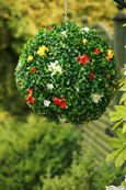 NEW PRODUCT 1 X Flowering Hanging Artificial Boxwood Topiary Ball in Terracotta and Cream Shades – 36cms (14 inch)  -  High quality two-tone leaf  COMPLETE with strong hanging chain with removable clips if you wish to use in pots or containers.