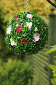 NEW PRODUCT 1 X Flowering Hanging Artificial Boxwood Topiary Ball Plum and Cream – 28cms (11inch)  -  High quality two-tone leaf  COMPLETE with strong hanging chain with removable clips if you wish to use in pots or containers.
