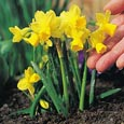 Narcissus 'Tete a Tete' - minature daffodils    * Commercial size bulbs NOT small pre-packs  -  Provides More Even Growth*
