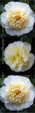 Camellia Jap. 'Brushfield's Yellow' - A  rare, evergreen and hardy shrub. A double cream delight! RHS Award of Garden Merit!