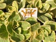 THE NEW CATS OFF VARIEGATED SCAREDY CAT PLANT - NATURES NATURAL CAT DETERRENT PLANT. ORGANICALLY RAISED NATURAL  PRODUCT. AVAILABLE SPRING