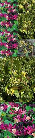 CHERRY AND CARAMEL TONES - Darts World & Copper Beauty - Evergreen Foliage for unresistable colour in your Garden- 2 Plant Evergreen Collection- These fully hardy Climbers have been container grown so can be planted any time of the year.