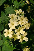 Jasmine 'Clotted Cream' - HARDY PERENNIAL CLIMBER- HEAVENLY SCENTED CREAMY FLOWERS. This Hardy Perennial Climber has been container grown so can be planted at any time of year.
