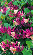 2X NEW INTRODUCTION Lonicera japonica 'Darts World'  EVERGREEN SCENTED FLOWERS. HARDY. ONE OF THE BEST ALL- ROUND CLIMBING PLANTS INTRODUCED!
