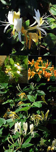 Honeysuckle - Lonicera japonica Halliana - EVERGREEN FOLIAGE & VERY LONG FLOWERING PERIOD - SCENTED FLOWERS. This Hardy Perennial Climber has been container grown so can be planted at any time of the year. We despatch WITH container so roots are protected