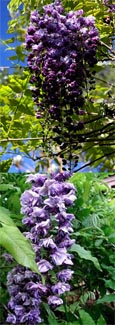 LARGE 70cm + Wisteria sinensis 'Black Dragon' - DOUBLE FLOWERING WISTERIA WITH DOUBLE DARK BLUE FLOWERS