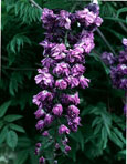 LARGE 70cm+ Wisteria 'Violacea Plena' - DOUBLE FLOWERING WISTERIA WITH DOUBLE DARK BLUE FLOWERS