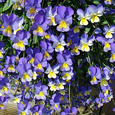 Trailing Pansy (Viola Hybrid) Friolina Blue & Gold.(3 x 7cms Pot Garden Ready Plants)- WINNER OF THE GROWER OF THE YEAR AWARD
