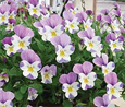 Trailing Pansy (Viola Hybrid) Friolina Creamy Pink (3 x 7cms Pot Garden Ready Plants)- WINNER OF THE GROWER OF THE YEAR AWARD