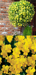 Trailing Pansy (Viola Hybrid) Friolina Yellow (3 x 7cms Pot Garden Ready Plants)- WINNER OF THE GROWER OF THE YEAR AWARD