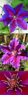 Clematis Anna Louise ™ Evithree. Compact habit so great for Patio Containers. FLOWERS TWICE EACH YEAR! This Hardy Perennial Climber has been container grown so can be planted at any time of the year. We despatch WITH container so the roots are safe.